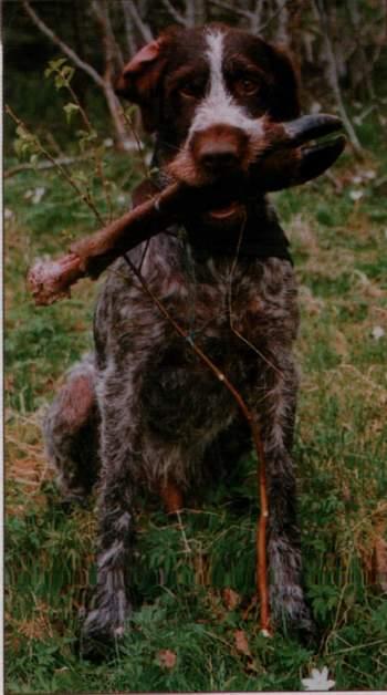 blodsportrening med hund